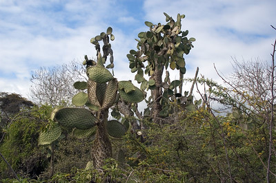 Cactus trees on Santa Cruz   (Dec 09, 2005, 02:36pm)