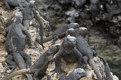 Marine iguanas crawling over rocks   (Dec 10, 2005, 01:53pm)