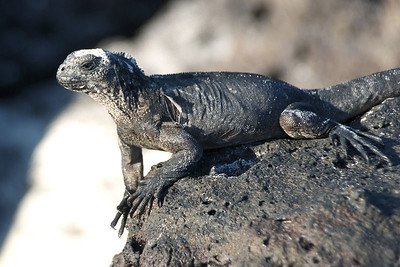 Young marine iguana   (Dec 09, 2005, 04:12pm)