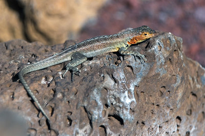 Female lava lizard   (Dec 09, 2005, 02:00pm)