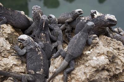 Pile of marine iguanas   (Dec 10, 2005, 01:48pm)