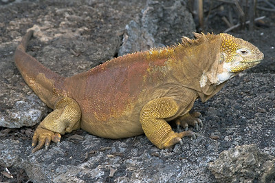 Land iguana at Darwin Research Center   (Dec 09, 2005, 02:28pm)