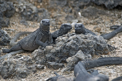 Three iguanas watching   (Dec 10, 2005, 01:47pm)