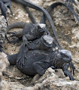 Triple iguana stack   (Dec 10, 2005, 01:48pm)
