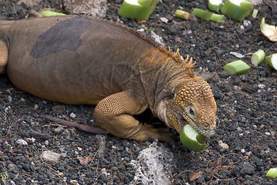 Land iguana eating   (Dec 09, 2005, 02:26pm)