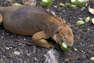Land iguana eating   (Dec 09, 2005, 02:26pm)