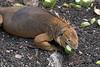 <b>Land iguana eating</b>   (Dec 09, 2005, 02:26pm)