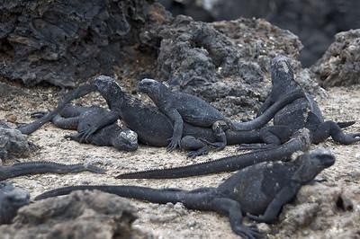 Iguanas in a conga line   (Dec 10, 2005, 01:47pm)