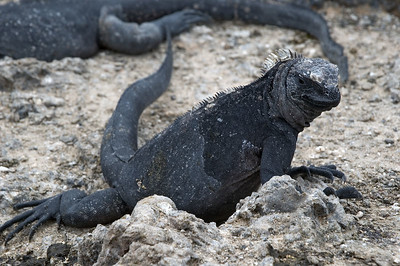 Marine iguana off Isabella Island   (Dec 10, 2005, 01:54pm)