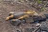 <b>Land iguana lazing on the rocks</b>   (Dec 09, 2005, 02:26pm)