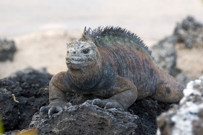 Marine iguana on rocks by beach   (Dec 09, 2005, 04:54pm)