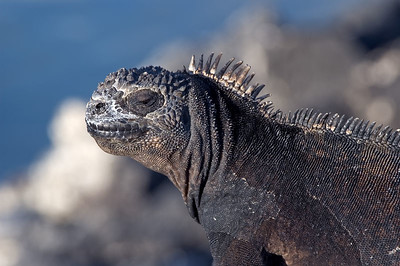 Marine iguana close up   (Dec 09, 2005, 05:01pm)