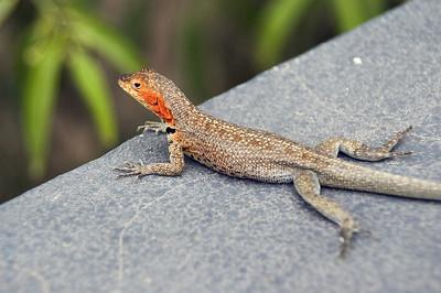Lava lizard on wall   (Dec 10, 2005, 12:51pm)