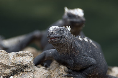 Iguana with a half smile   (Dec 10, 2005, 01:53pm)