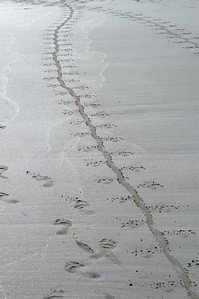 Iguana trails in the sand of Tortuga beach   (Dec 09, 2005, 04:09pm)