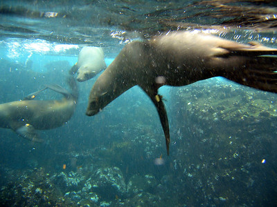 Sea lions underwater   (Dec 11, 2005, 08:06am)