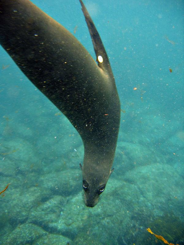 <b>Sea lion diving down</b>   (Dec 11, 2005, 08:00am)
