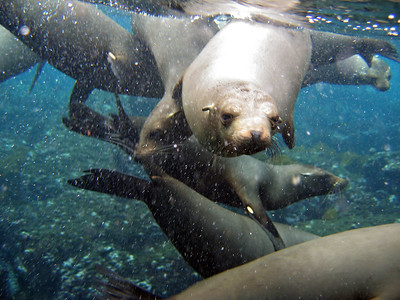 Swimming with the sea lions   (Dec 11, 2005, 08:26am)