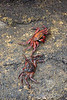 <b>Two crabs on the rocks at Isabela Island</b>   (Dec 10, 2005, 01:18pm)
