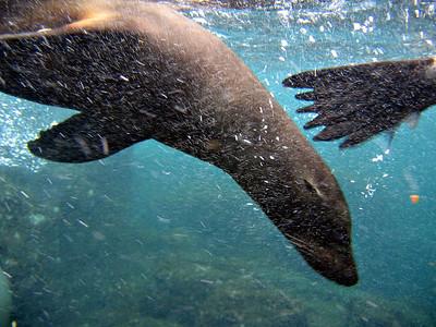 A sea lion surrounded by bubbles   (Dec 11, 2005, 08:07am)