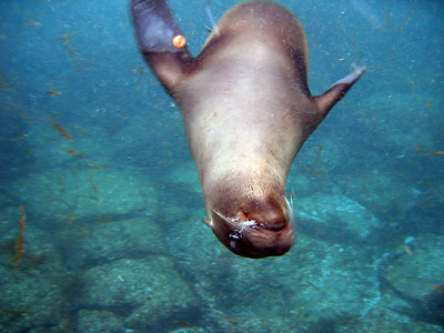 Upside down sea lion blowing bubbles   (Dec 11, 2005, 08:03am)