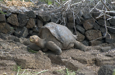 Lonesome George, last of his species   (Dec 09, 2005, 02:43pm)