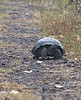 <b>Tortoise coming down the path</b>   (Dec 09, 2005, 09:32am)