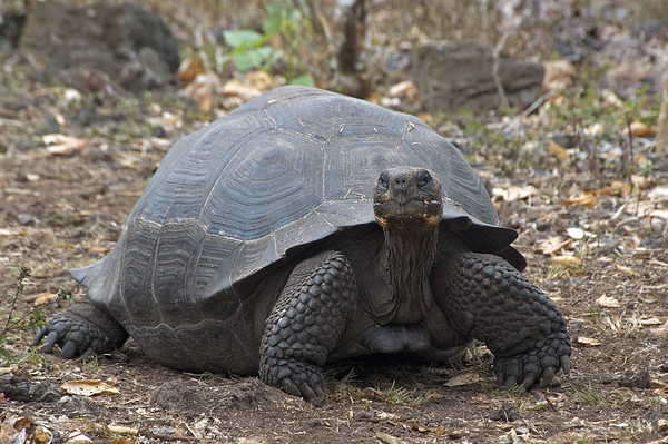 Closer view of the giant tortoise   (Dec 09, 2005, 11:06am) (Gallery: Travel Journals > Galapagos 05 > Galapagos - Tortoises)