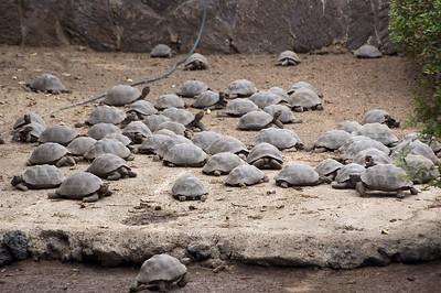 A large herd of young tortoises   (Dec 10, 2005, 12:50pm)