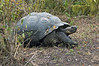 <b>Grant tortoise on Santa Cruz</b>   (Dec 09, 2005, 10:25am)