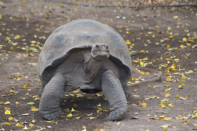 Tortoise coming for a closer look   (Dec 10, 2005, 12:46pm)