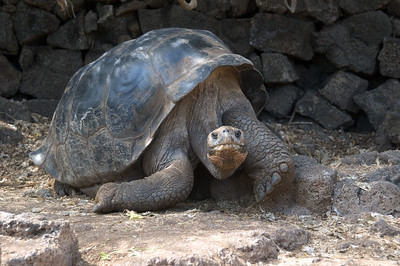 Giant tortoise living at Darwin Research Center   (Dec 09, 2005, 02:07pm)