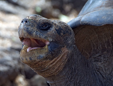 Close up of a tortoise yawning   (Dec 09, 2005, 02:10pm)
