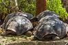 A Herd of Giant Tortoises