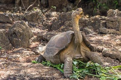 """Española Tortoise - """"Diago"""""""
