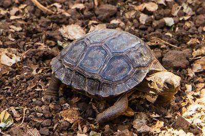Juvenile Giant Tortoise
