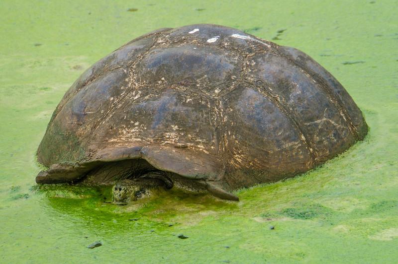 Giant Tortoise in pond