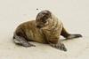 Juvenile Sea Lion