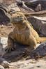 Santa Fe Land Iguana