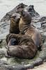 Juvenile Sea Lions Playing