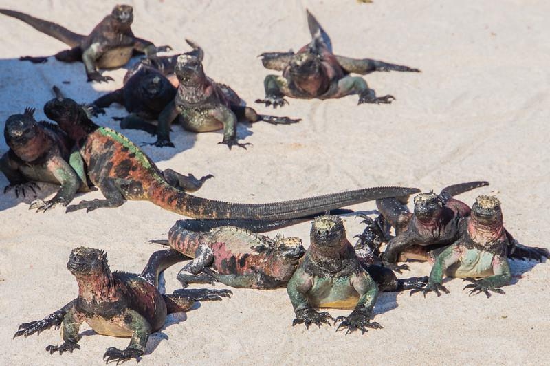 A Mess of Marine Iguanas