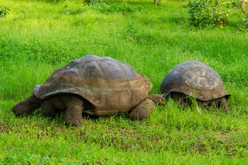 Giant Tortoise territorial fight