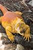 Sante Fe Land Iguana