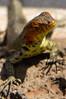 Female Galapagos Lava Lizard