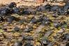A Herd of Juvenile Giant Tortoises
