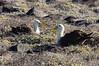 Waved Albatrosses