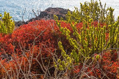 Galapagos Carpet Weed and Clubleaf