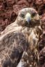 Juvenile Galapagos Hawk