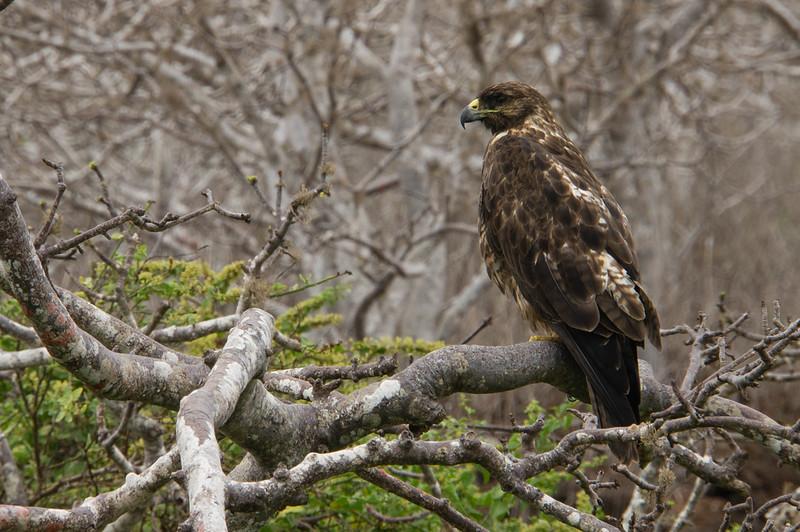 Galapagos Hawk