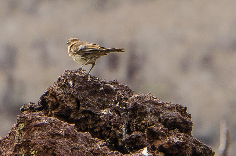 Small-Tree Finch